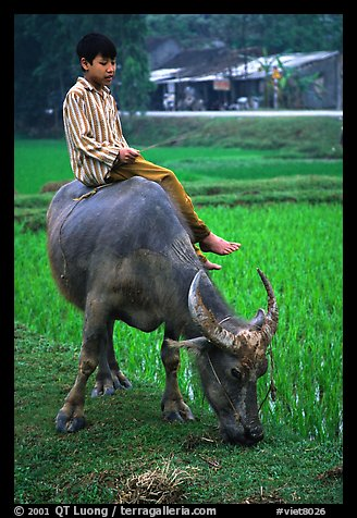 Picture Photo Boy Sitting On Water Buffalo Near The