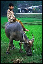 Boy sitting on water buffalo, near the Perfume Pagoda. Vietnam (color)
