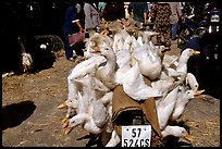 Transporting live ducks to the market. Cholon, Ho Chi Minh City, Vietnam