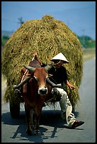 Cow carriage loaded with hay. Mekong Delta, Vietnam ( color)